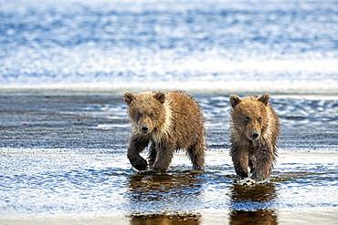 Two Kodiak Bears (Ursus arctos middendorffi) walking together along a wet beach, Katmai National Park, Alaska, United States of America
