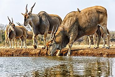 Eland (Taurotragus oryx) drinking water, Mashatu, Botswana