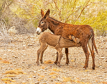 Wild Burro nursing her calf, Lake Havasu, Arizona, United States of America