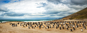 Gentoo penguins (Pygoscelis papua), stitched panorama, The Neck, Saunder's Island, Faulkland Islands