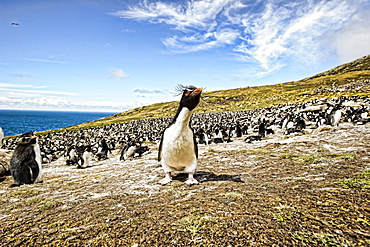Rockhopper Penguins, the rookery, Saunder's Island, Falkland Islands