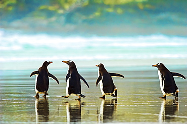Gentoo penguins (Pygoscelis papua) walking on the wet sand, The Neck, Saunder's Island, Falkland Islands