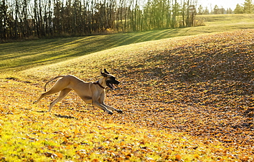 A Great Dane running through the leaves in an off-leash dog park during a warm fall evening, Edmonton, Alberta, Canada