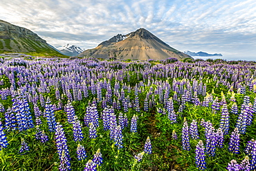 A beautiful volcanic mountain scene with wispy clouds and blue sky is accented in late evening light behind a field full of lupine wildflowers, Iceland