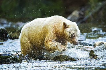 Kermode Bear (Ursus americanus kermodei), also known as the Spirit Bear, fishing in the Great Bear Rainforest, Hartley Bay, British Columbia, Canada