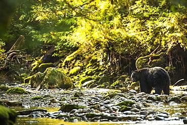 Black bear (Ursus americanus) fishing in a stream in the Great Bear Rainforest, Hartley Bay, British Columbia, Canada
