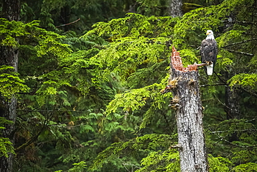 Bald Eagle (Haliaeetus leucocephalus) sitting in a tree in the Great Bear Rainforest, Hartley Bay, British Columbia, Canada