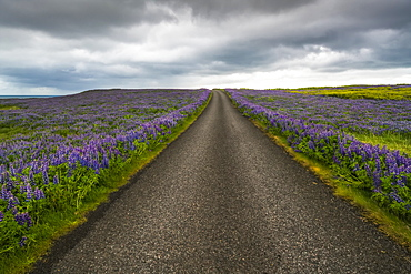 Lupines line a road on the Snaefellsness Peninsula, Iceland