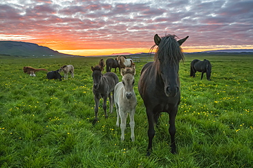 Icelandic horses walking in a grass field at sunset, Hofsos, Iceland