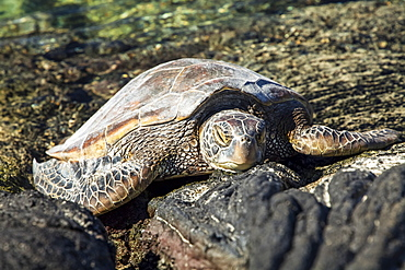 Hawaiian Green Sea Turtle (Chelonia mydas) resting on lava rocks at Kiholu Bay, South Kohala Coast, Island of Hawaii, Hawaii, United States of America