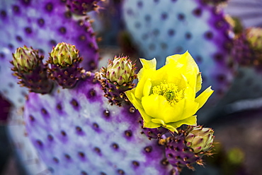 The pollen laden center in the yellow bloom of a Prickly Pear Cactus (Opuntia) flower and future buds, Arizona, United States of America