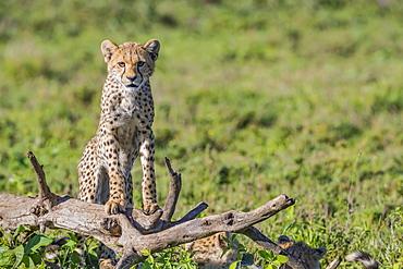 Cheetah (Acinonyx jubatus) standing on a dead tree, Ndutu, Tanzania