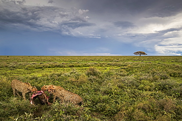 Cheetahs (Acinonyx jubatus) eating a wildbeest, Ndutu, Tanzania