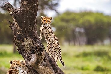 Cheetah (Acinonyx jubatus) in a tree, Ndutu, Tanzania