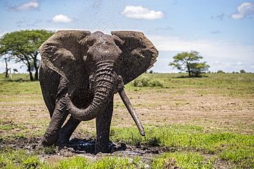Elephant with large tusks, Ndutu, Tanzania