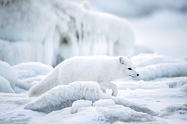Arctic fox (Vulpes lagopus) walking through the ice chunks on Hudson Bay, Churchill, Manitoba, Canada
