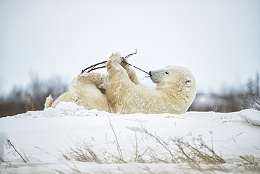 Polar bear (Ursus maritimus) playing with a stick in the snow, Churchill, Manitoba, Canada