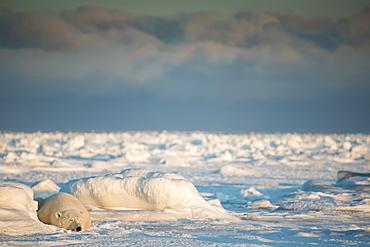 Polar bear (Ursus maritimus) lying in the snow sleeping at sunset, Churchill, Manitoba, Canada