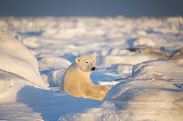Polar bear (Ursus maritimus) sitting in the snow at sunset looking back towards the camera, Churchill, Manitoba, Canada