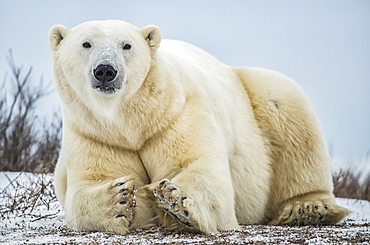 Polar bear (Ursus maritimus) lying in the snow looking at the camera, Churchill, Manitoba, Canada