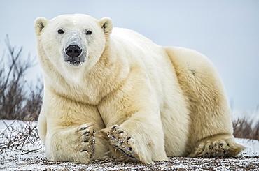 Polar bear (Ursus maritimus) lying in the snow looking at the camera, Churchill, Manitoba, Canada