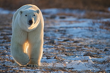 Polar bear (Ursus maritimus) walking towards us in the setting sunlight, Churchill, Manitoba, Canada