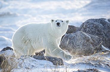 Polar bear (Ursus maritimus) in the snow backlit by the rising sun, Churchill, Manitoba, Canada