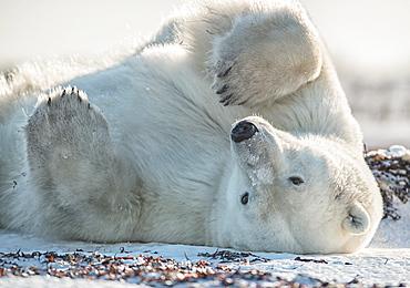 Polar bear (Ursus maritimus) in the snow on its back, Churchill, Manitoba, Canada
