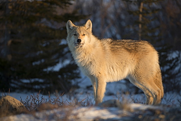 Northwestern wolf (Canis lupus occidentalis) in the setting sun, Churchill, Manitoba, Canada
