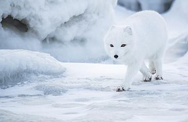 Arctic fox (Vulpes lagopus) walking in the snow, Churchill, Manitoba, Canada