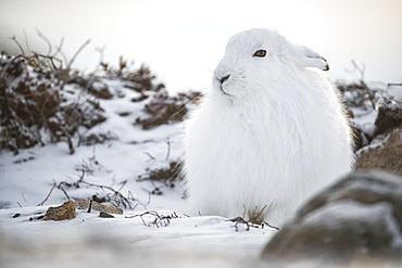 Arctic hare (Lepus arcticus) in the snow, Churchill, Manitoba, Canada