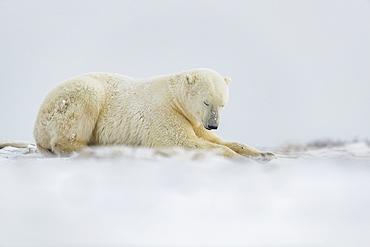 Polar bear (Ursus maritimus) laying in the snow, Churchill, Manitoba, Canada