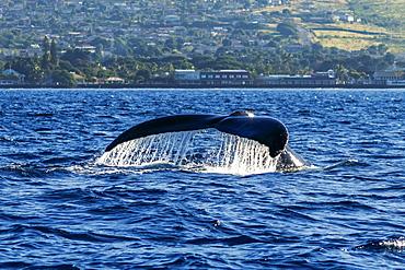 Humpback whale (Megaptera novaeangliae) fluke, Lahaina, Maui, Hawaii, United States of America