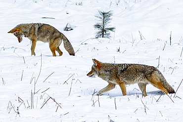 Coyote (Canis latrans) hunting in the snow in Yosemite Valley, Yosemite National Park, California, United States of America