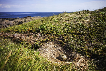 Gull egg in nest, Brier Island, Nova Scotia, Canada