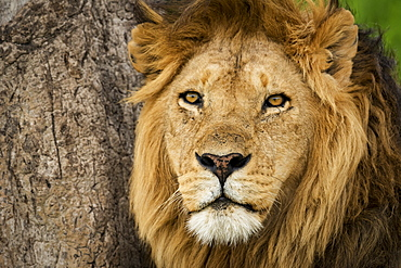 Close-up of male lion (panthera Leo) alongside scratched tree, Serengeti National Park, Tanzania