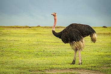 Male ostrich (Struthio camelus) looks at camera on grassland, Tanzania