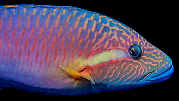 The vivid colors of a Ringtail Wrasse (Oxycheilinus unifasciatus) viewed in the Pacific Ocean off the coast of Kona, Island of Hawaii, Hawaii, United States of America