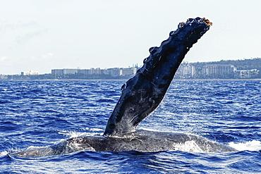 Humpback whale pectoral fin, Lahaina, Maui, Hawaii, United States of America