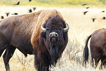 Buffalo in Yellowstone National Park, Wyoming, United States of America