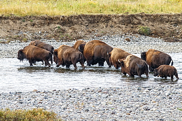 Buffalo crossing the river, Yellowstone National Park, Wyoming, United States of America