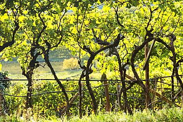 Rows of grapevines in a vineyard, Calder, Bolzano, Italy