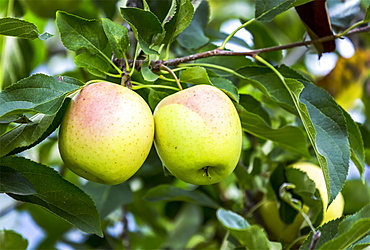 Close-up of a pair of golden apples on a tree branch, Caldaro, Bolzano, Italy