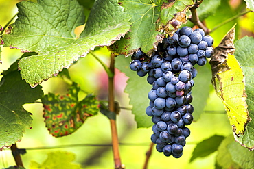 Cluster of purple grapes hanging from the vine, Caldaro, Bolzano, Italy