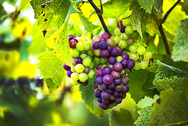 Close-up of a mix of ripe and unripe clusters of grapes hanging from the vine, Caldaro, Bolzano, Italy