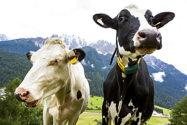 Close-up of two diary cows in an alpine meadow with snow-capped mountains in the background, San Candido, Bolzano, Italy