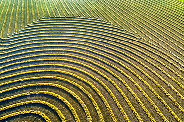 Aerial views of canola harvest lines glowing at sunset, Blackie, Alberta, Canada