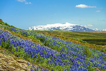 Lupins in bloom on hillside, Geysir, Iceland