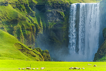 A flock of sheep grazing in a lush green field at Skogafoss waterfall, Skoga, Iceland