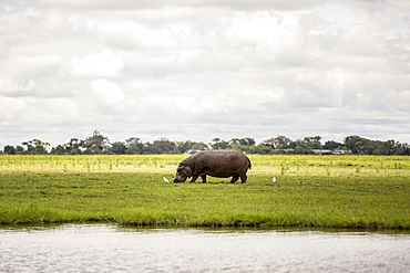 A rhinoceros grazing on grass with birds beside the Chobe River in Chobe National Park, Botswana